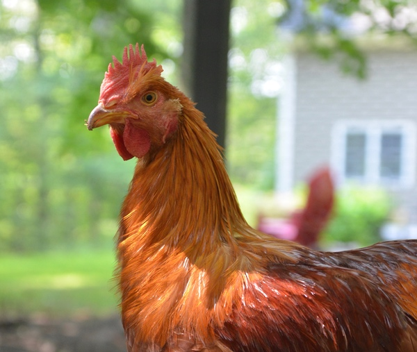 There's no denying it, chickens are weird creatures. We're here with 12 facts to prove it.