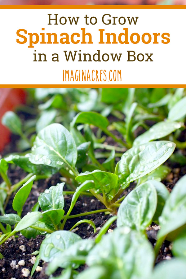 We attempted to grow spinach in a window box in the dead of winter. This experiment was super fun, because it actually worked! Visit to see what we did to grow spinach indoors in a window box.