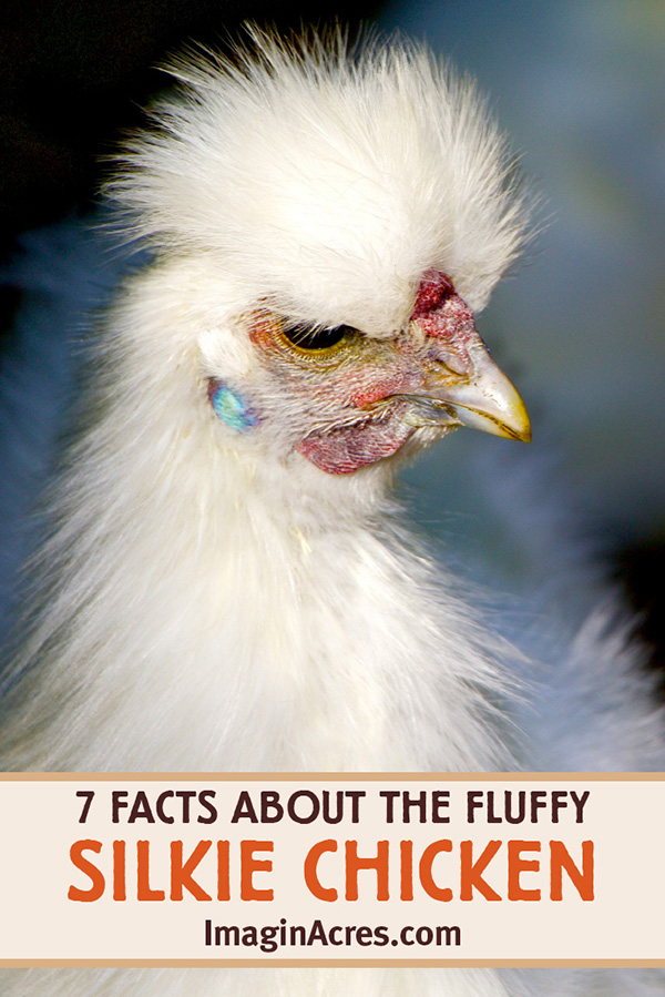 Silkies are a breed of chickens with many unique genetic and behavioral traits. Their fluffy appearance, friendliness, and mothering skills make them great pets. Discover seven unique features of the silkie chicken that make them different from other breeds.