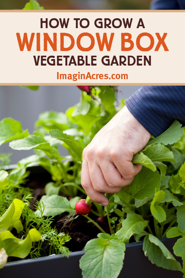A window box vegetable garden is a great way to utilize a small space to grow food. Once planted, all you need to do is water and harvest. Have fresh food at your fingertips this summer by planting a window box vegetable garden. Visit to learn how to grow a window box vegetable garden.