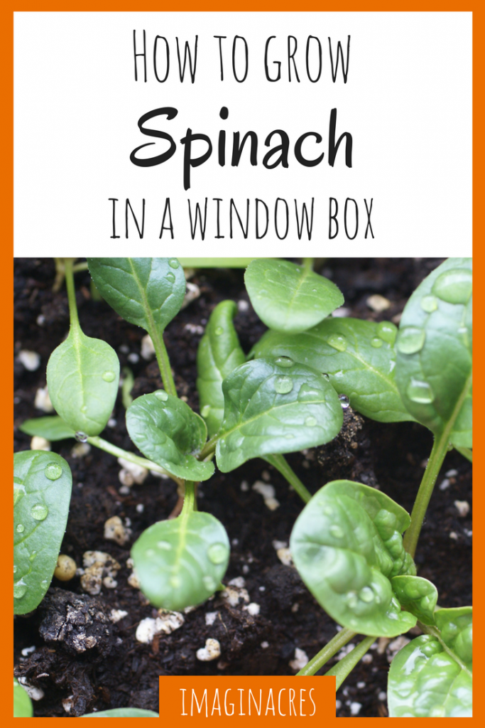 If you don't have a lot of outdoor space, you can grow spinach and other greens in a window box! It's so easy and there's just nothing like fresh greens!