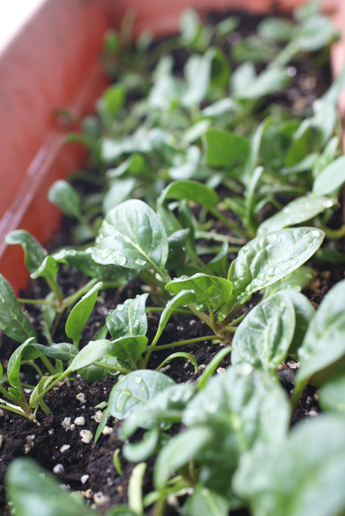 Grow vegetables in a window box