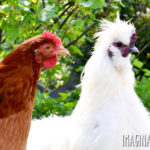 red chicken and white silkie chicken rooster