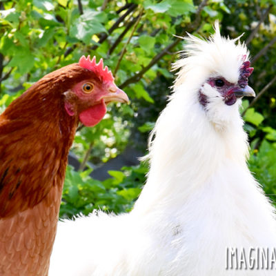 7 Interesting Facts About Silkie Chickens