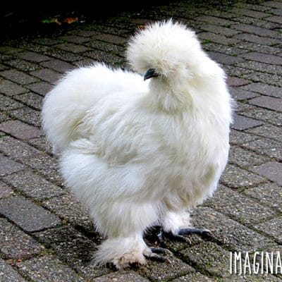Silkie chickens are truly the weirdos of the chicken world, and to prove it, we've put together 7 Silkie chicken facts!
