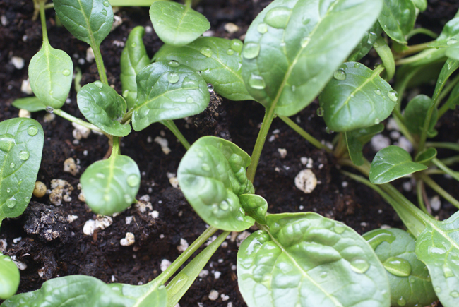 Grow Spinach in a Window Box