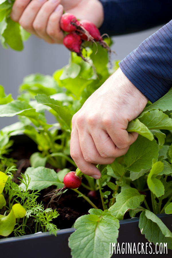 A window box vegetable garden is a great way to utilize a small space to grow food. Once planted, all you need to do is water and harvest. Have fresh food at your fingertips this summer by planting a window box vegetable garden.