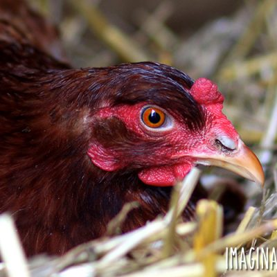 How to Deal with a Broody Hen