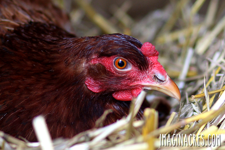 A broody hen is one that develops the natural urge to hatch eggs and raise chicks. Here are ways to tell if your chicken is broody and tips to deal with a broody hen.