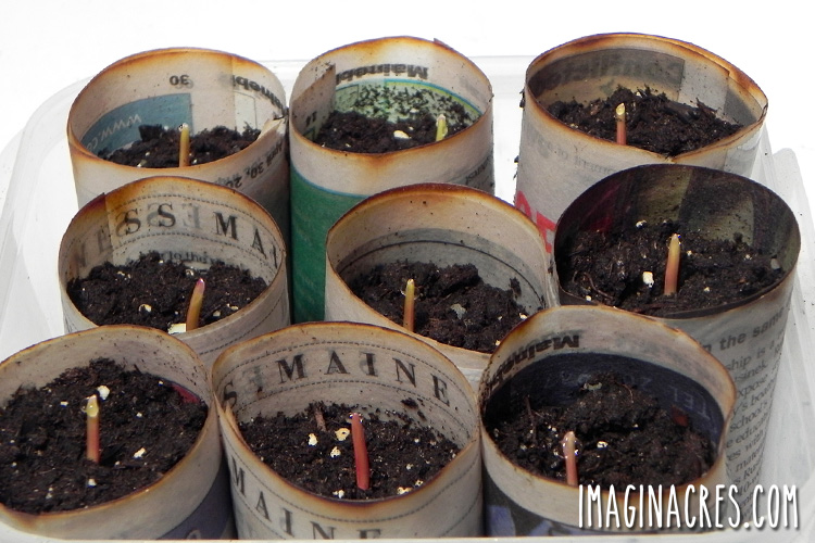 seedlings sprouting in a newspaper pot