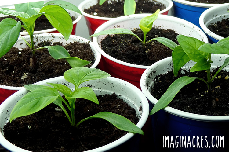 pepper seedlings growing in recycled party cups