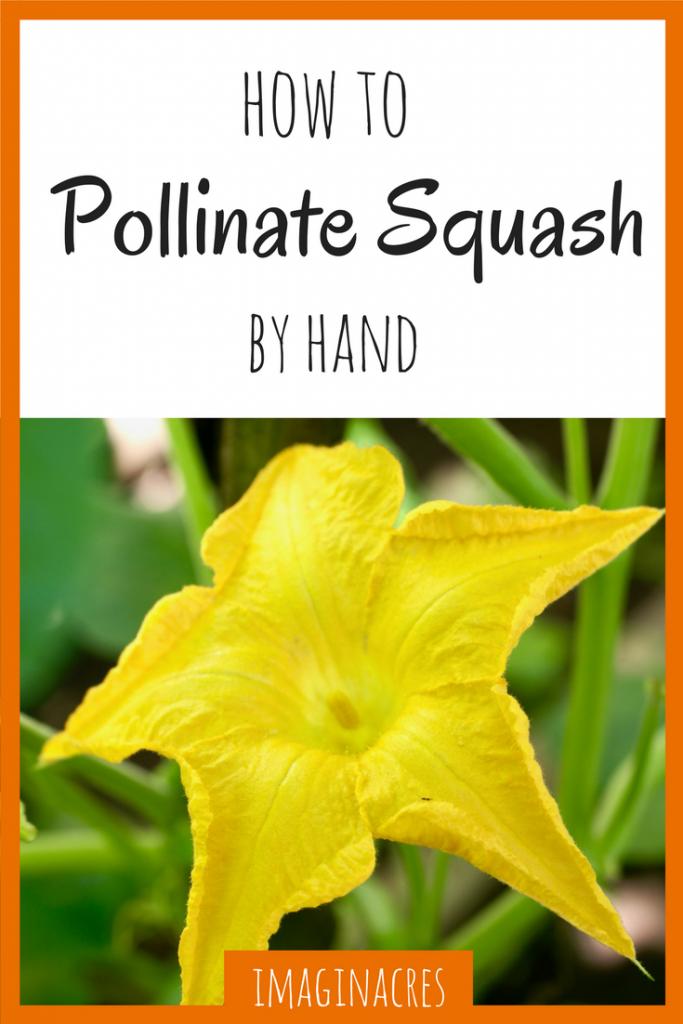 When the birds and the bees aren't doing their jobs, it's up to you to pollinate squash by hand. Luckily, it's super easy to do!