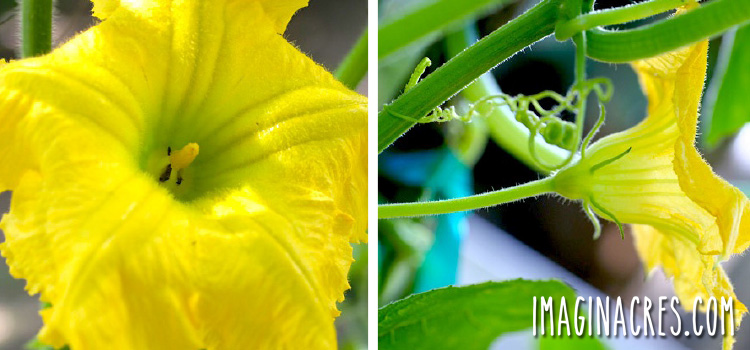 male squash flower showing stamen and no baby fruit
