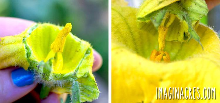 hand pollinating squash blossom