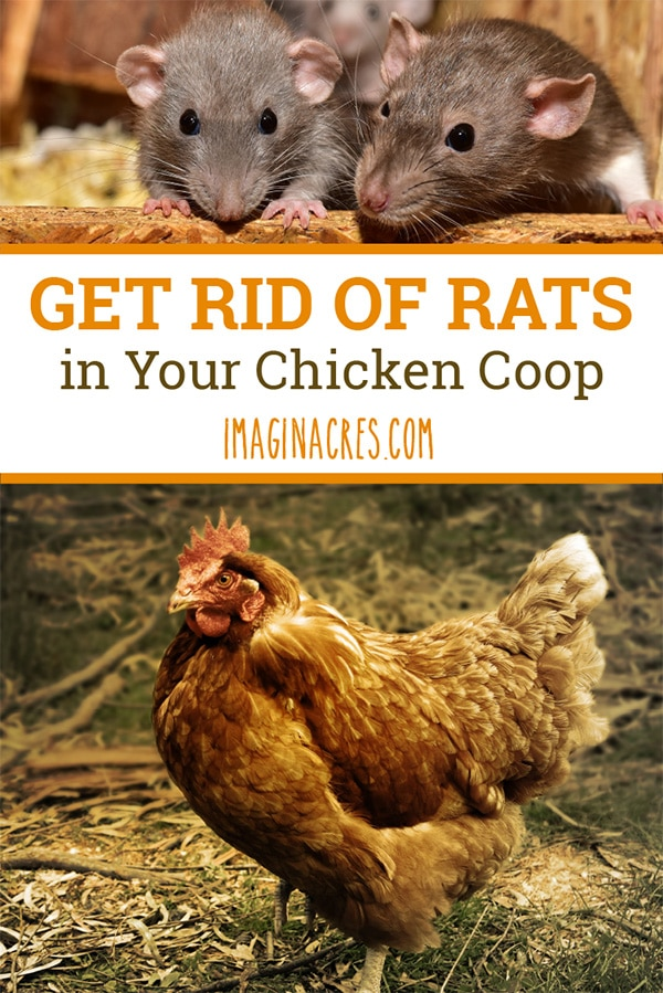 Are you having problems with rats in your chicken coop? We tried several ways to get rid of rats. Here's what worked for us, and what didn't.