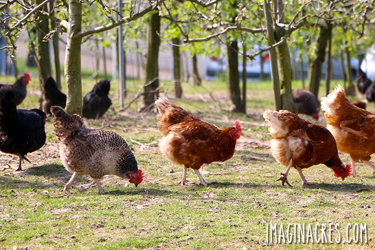 chickens foraging among grass and trees