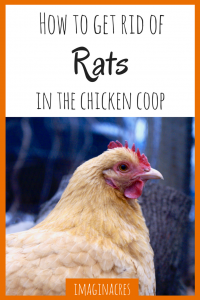 We know how tough it is to get rid of rats in the chicken coop, we've been there. These tips helped us and hopefully will help you too!