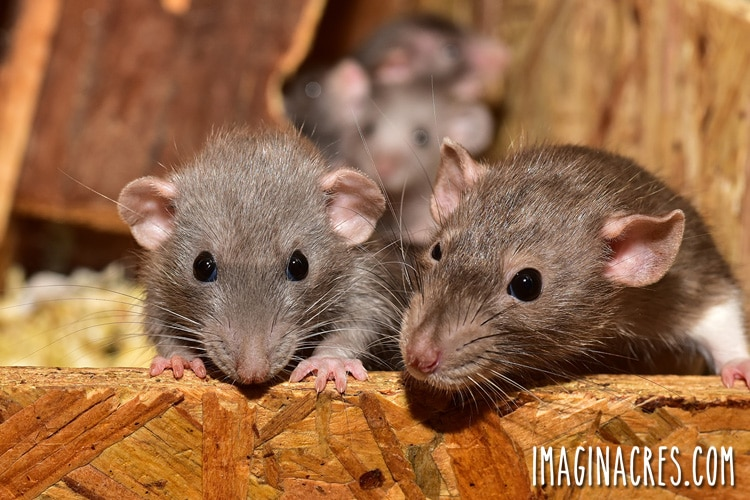 Are you having problems with rats in your chicken coop? We tried several ways to