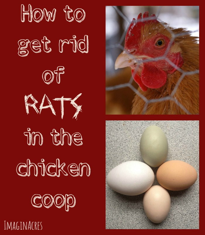 We know how tough it is to get rid of rats in the chicken coop, we've been through it. Follow our tips and you'll defeat them one and for all!