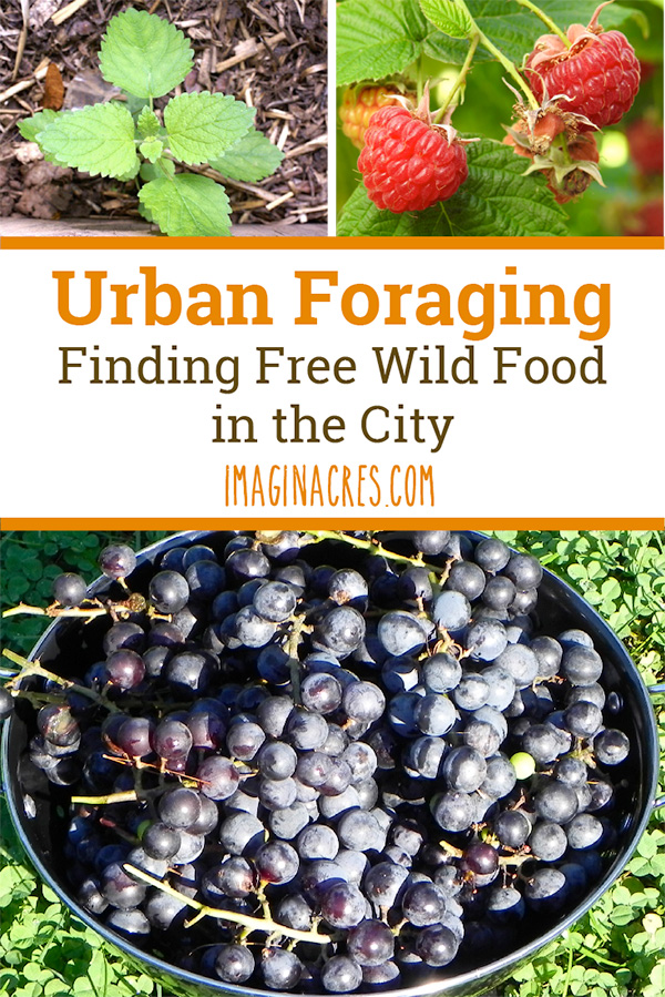 Urban foraging is seeking and harvesting edibles that grow in the wild, even in urban areas. See what we were able to forage in our city.