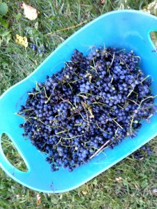 wild grapes in bucket