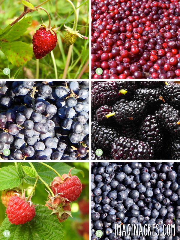 Collage photo showing 7) Wild Strawberries, 8) Serviceberries, 9) Wild Grapes, 10) Mulberries, 11) Raspberries, 12) Blueberries