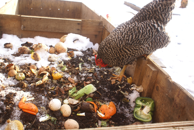Chicken Compost