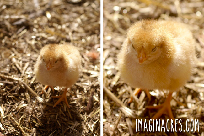 two photos of yellow chicks on straw