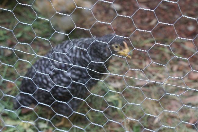 Chicken with chicken wire in foreground