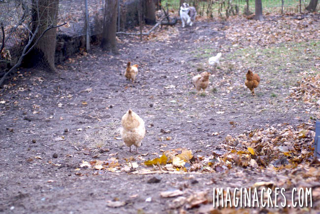 far shot of chickens free ranging in the distance