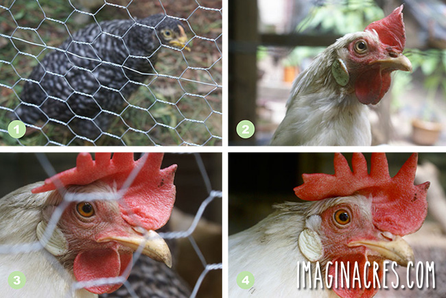four pictures of chickens behind chicken wire