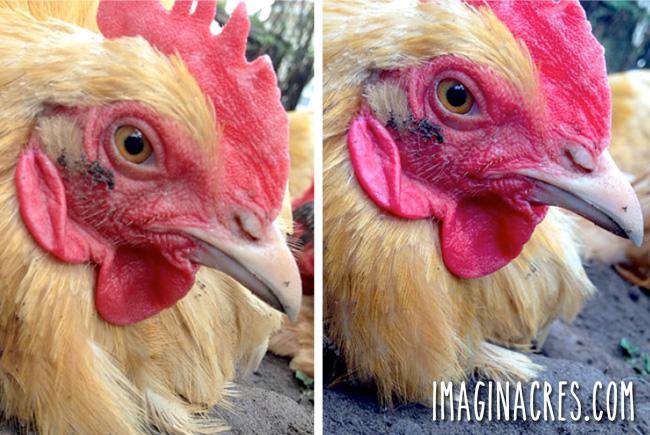 two closeup photos of a chicken