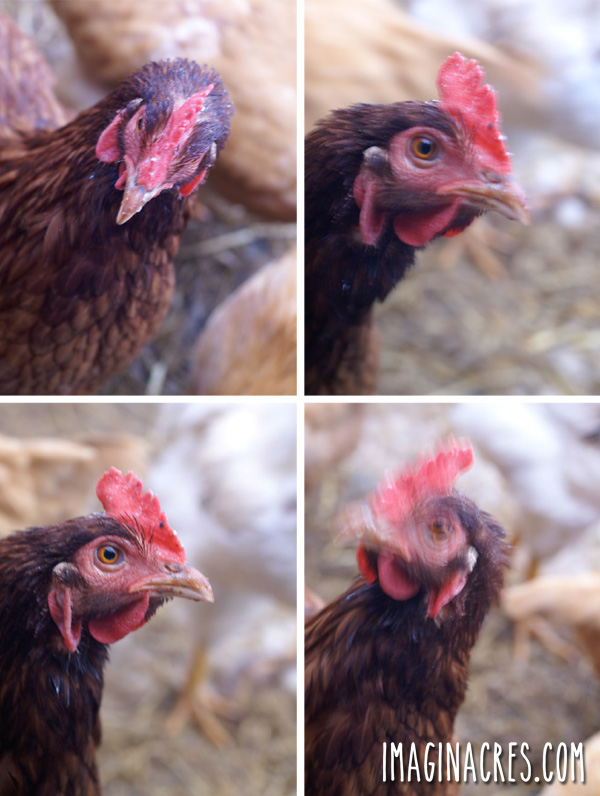 four blurry and out of focus of a chicken