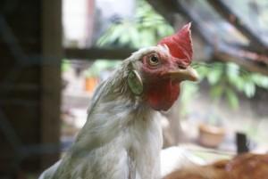 Leghorn behind chicken wire on aperture priority