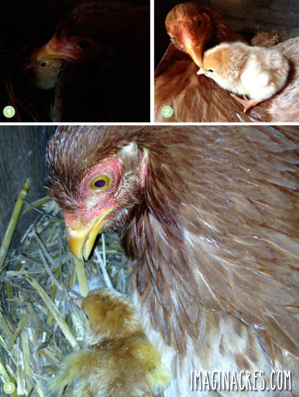 bad photos of a mother chicken with chick