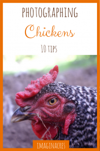 Photographing any animal is tricky, but chickens can be especially challenging. These 10 tips will get you on the road to success!