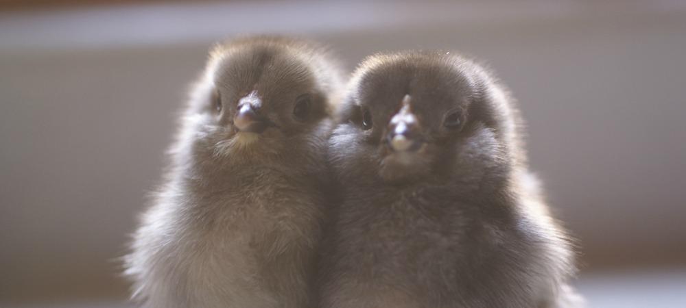 Meet the Chicks!
