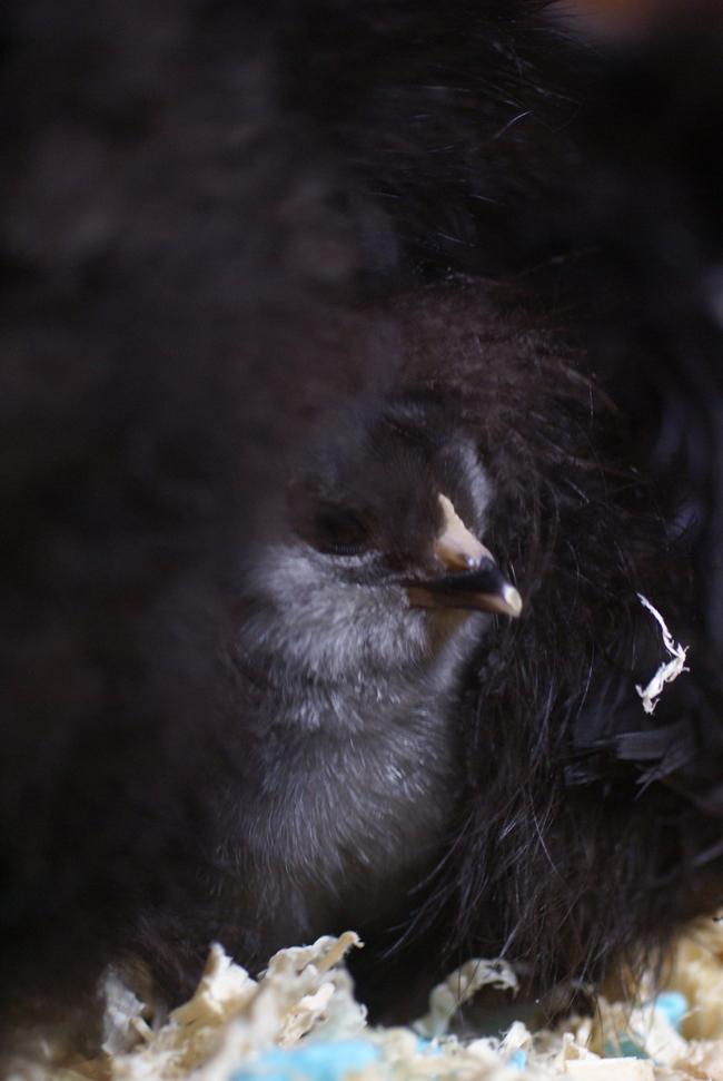 chick hiding under mom