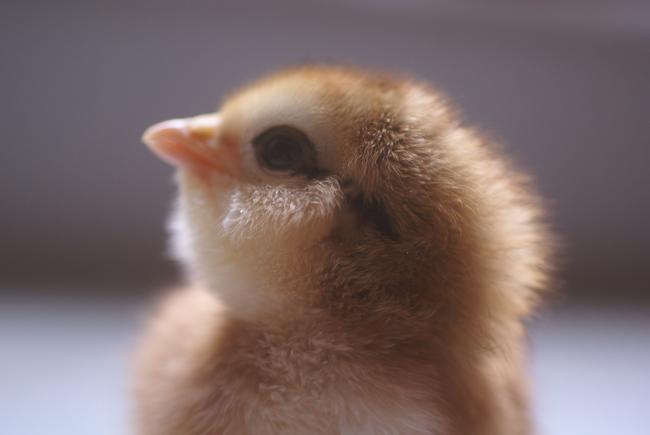 striped easter egger chick