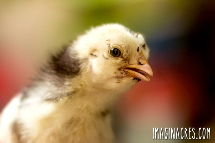closeup of a newly hatched chick