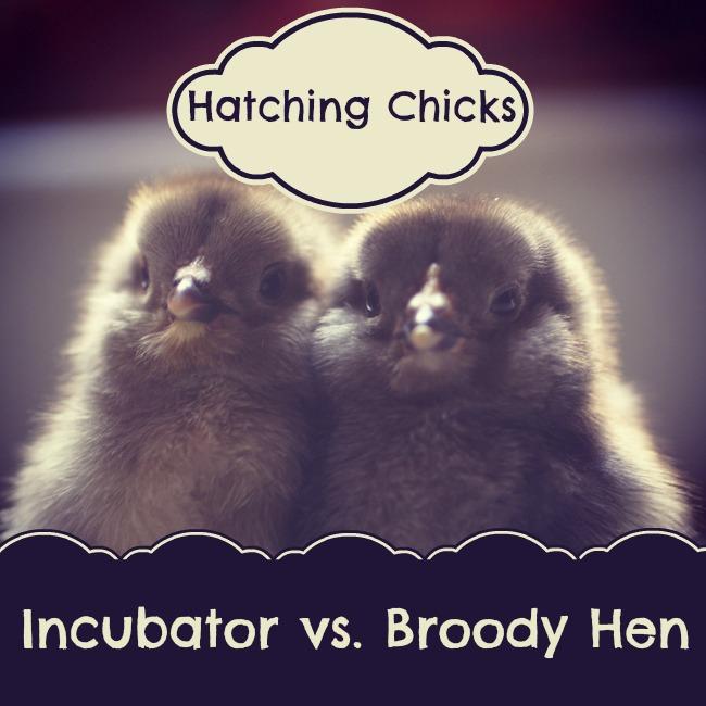Incubator vs. Broody Hen