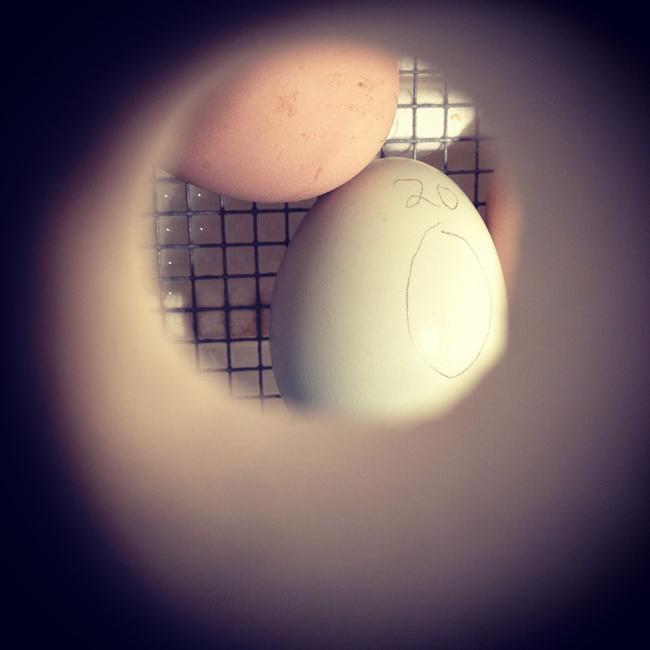 eggs in an incubator