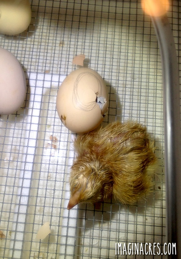 just hatched chick in an incubator