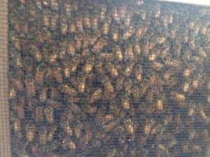 honeybees in a package