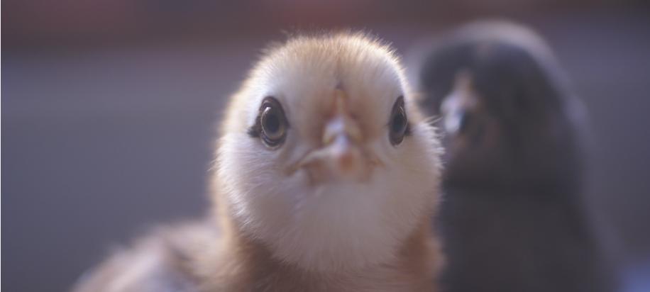 10 things about raising chickens you won't read in books