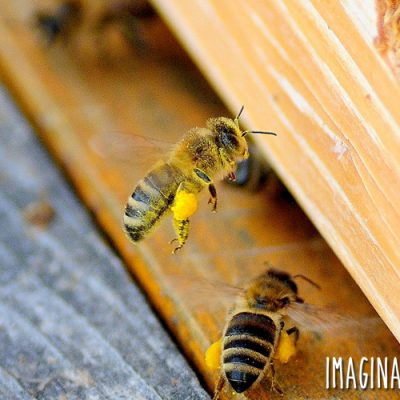 Preparing for Honeybees at ImaginAcres