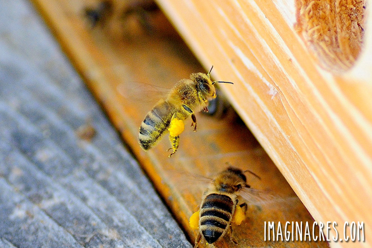 bees returning to the hive with pollen