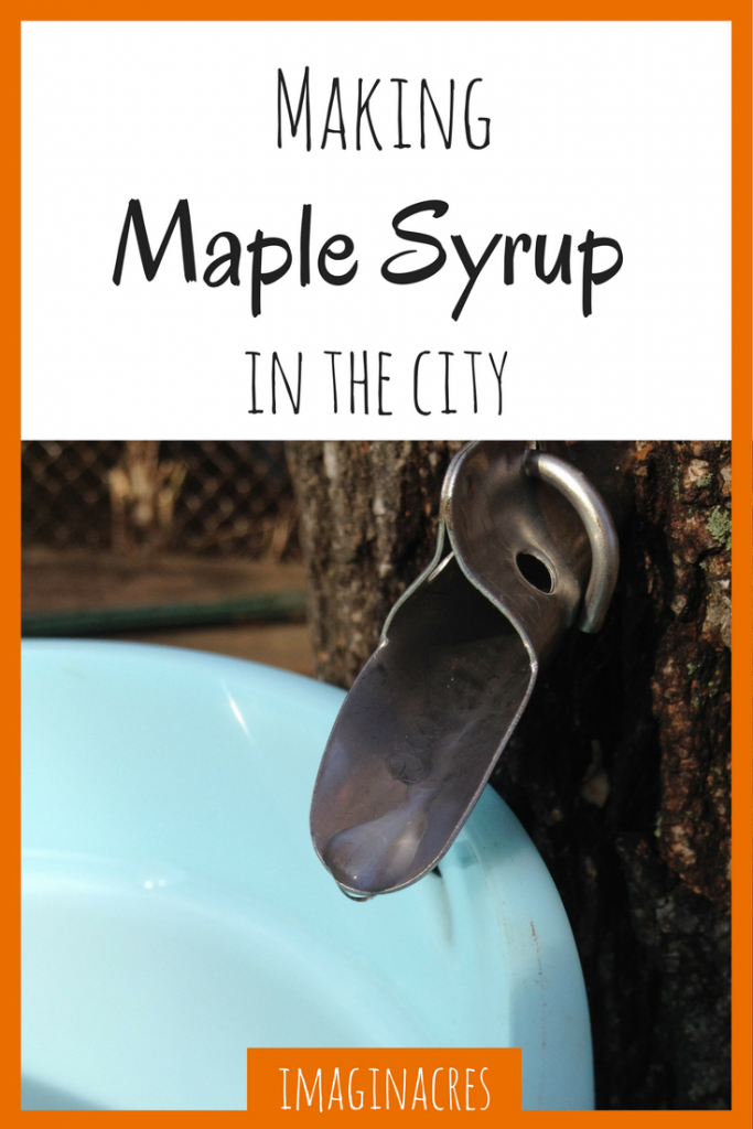 Did you know you can tap trees and make maple syrup in the city? It's totally possible, and we show you how!