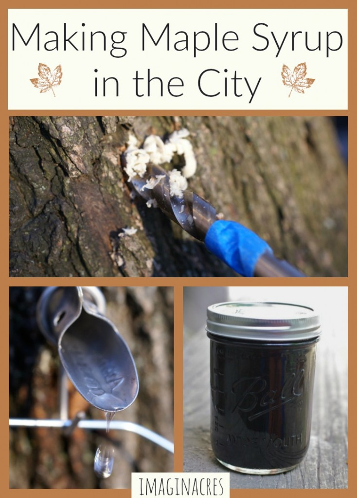 Did you know making maple syrup is possible in urban areas? We tap the maple trees in our backyard every year and use a turkey fryer to boil the sap. Find out how here!