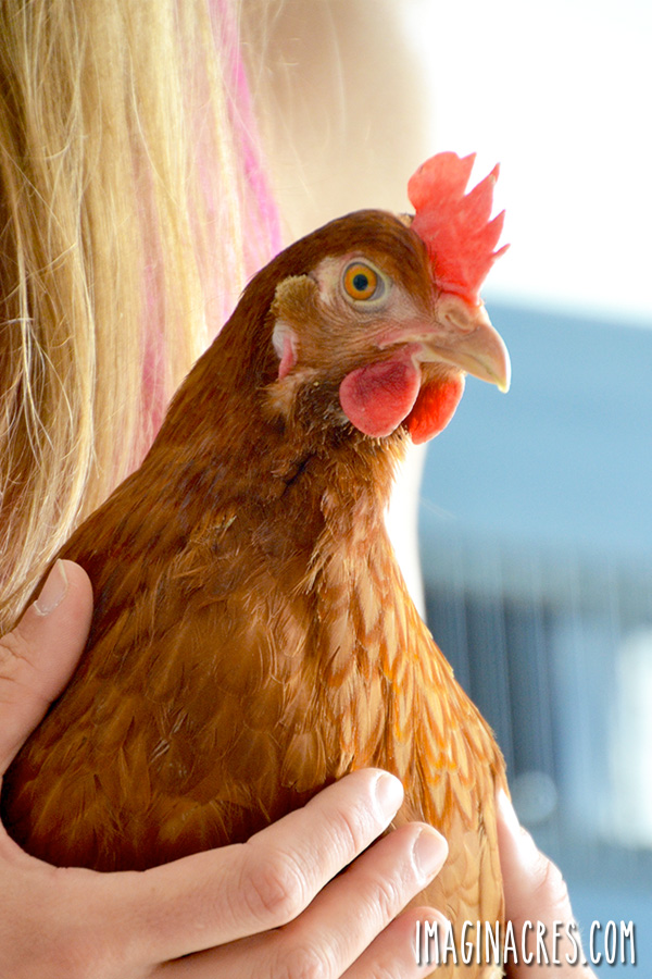 Keeping backyard chickens is a continuous learning process. If you are like us, you have probably researched many websites, and read a lot of books about raising chickens before bringing them home.